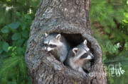 Raccoons Framed Prints - Awaiting Mom Framed Print by Sandra Bronstein