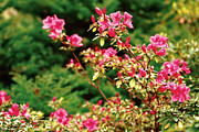 Vale Photos - Azalea blooming by Gaspar Avila