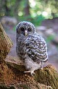 Baby Animals Prints - Baby Barred Owl  Print by David  Naman