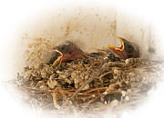 Baby Birds Posters - Baby Birds in Nest Poster by Joe Granita