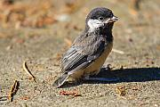 Baby Bird Metal Prints - Baby Chickadee Metal Print by David  Naman