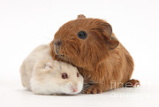 Animal Humor Posters - Baby Guinea Pig And Russian Hamster Poster by Mark Taylor