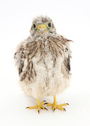 Baby Bird Prints - Baby Kestrel Print by Mark Taylor