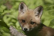 Nature Mixed Media Posters - Baby Red Fox Poster by Robert Pearson
