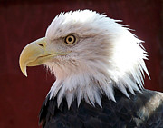 Bald Eagle Framed Prints - Bald Eagle Framed Print by Ernie Echols