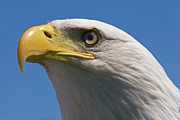 Eagle Photos - Bald Eagle by JT Lewis