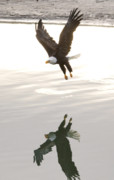Alaskan Bald Eagle Acrylic Prints - Bald Eagle Landing Over Water Acrylic Print by Clarence Alford