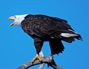 Ed Nicholles Acrylic Prints - Bald Eagle On Branch Acrylic Print by Ed Nicholles