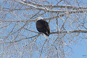 Preditor Photos - Bald Eagle by Rick Thiemke