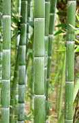 Moroccan Photos - Bamboo (phyllostachys Sp.) by Johnny Greig