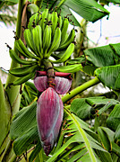 Banana Tree Photos - Banana Flower by Dan McManus