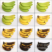 Yellow Bananas Posters - Banana Ripening Sequence Poster by Ted Kinsman