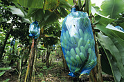 Banana Tree Photos - Banana Tree by David Nunuk