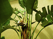 Banana Tree Photos - Banana Tree by Susanne Van Hulst