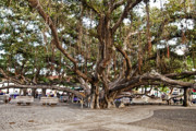 Lahaina Prints - Banyan Tree Print by Scott Pellegrin