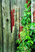 Barnboard Prints - Barn Board and Weeds Print by Gordon Wood