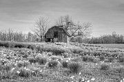 Jonquils Photos - Barn in Field of Flowers by Geary Barr