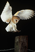 Swooping Framed Prints - Barn Owl Framed Print by Andy Harmer