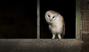 Barn Owl Prints - Barn Owl in Window Print by Andy Astbury