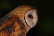 Barn Owls Prints - Barn Owl Profile Print by Bruce J Robinson
