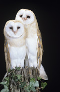 Barn Owls Prints - Barn Owls Print by David Aubrey