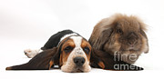 Droopy Prints - Basset Hound And Rabbit Print by Mark Taylor