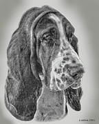 Akc Framed Prints - Bassett Hound Framed Print by Larry Linton