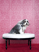 High Society Prints - Bearded Collie (canis Lupus Familiaris) On Chair Print by Catherine Ledner