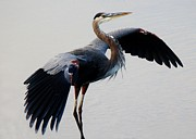 Beautiful Blue Heron Print by Paulette  Thomas