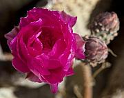Cactus Flowers Photos - Beavertail Cactus Blossom 2 by Kelley King