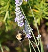 Terri Albertson - Bee and Lavender