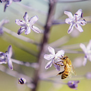 Bee Collects Nectar Print by Benny  Woodoo