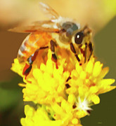 Marian Cates Metal Prints - Bee On A Yellow Flower Metal Print by Marian Cates