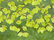 Kingston Prints - Beech Tree Leaves (fagus Sylvatica) Print by Adrian Bicker