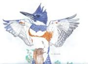 Habitat Drawings Posters - Belted Kingfisher Poster by Don  Gallacher