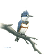 Bird Drawings Originals - Belted Kingfisher Perched by Kalen Malueg