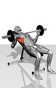 Human Representation Art - Bench Press Incline (part 2 Of 2) by MedicalRF.com