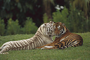 Morph Photo Prints - Bengal Tiger Panthera Tigris Tigris Print by Konrad Wothe