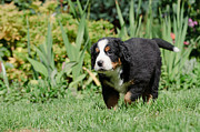 Berner Photos - Bernese Mountain Dog puppy portrait by Waldek Dabrowski