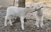 Sheep Tapestries Textiles - Best Friends by Warren Sarle