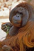 Orangutan Photos - Big Daddy by Michele Burgess