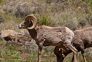 Big Thompson River Prints - Bighorn Sheep Print by Peter Skiba