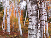 Colourful Bark Prints - Birch Trees Fall Scenery Print by Oleksiy Maksymenko