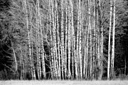 Steve Patton - Birches 1