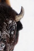 Bison Art - Bison In Winter by Richard Wear