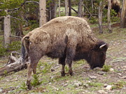 Yvette Pichette - Bison of Yellowstone