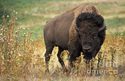 Bison Photos - Bison by Science Source