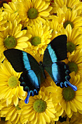Bouquets Prints - Black and blue butterfly Print by Garry Gay