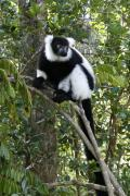 Madagascar Framed Prints - Black and White Ruffed Lemur Framed Print by Michele Burgess