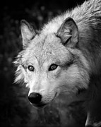 Attack Dog Photos - Black and White Wolf by Steve McKinzie